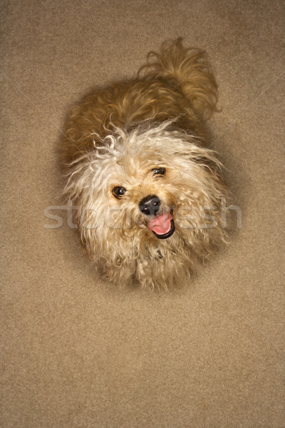 Cute mutt dog. Stock photo © iofoto