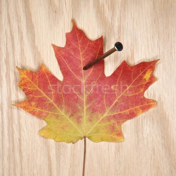 Nailed maple leaf. Stock photo © iofoto