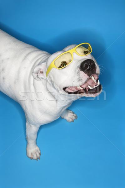 White dog on blue background. Stock photo © iofoto