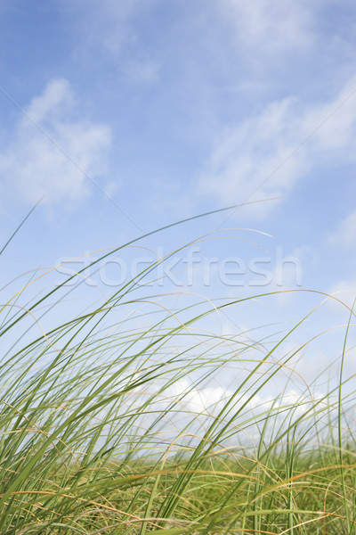 Stock photo: Beach grass swaying with the wind.
