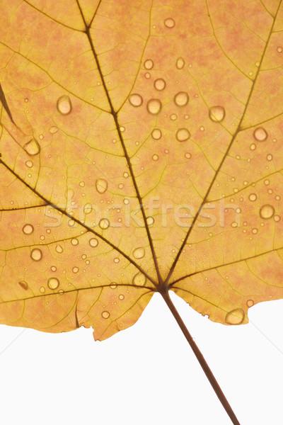 Foto stock: Maple · leaf · raio · laranja
