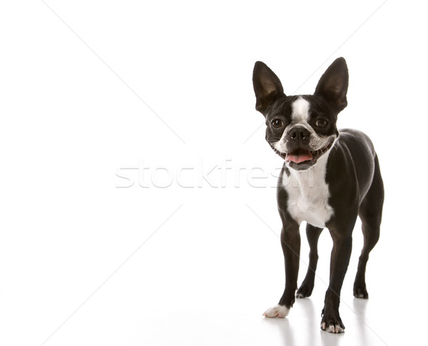 Boston terrier chien sourire cheveux portrait Photo stock © iofoto
