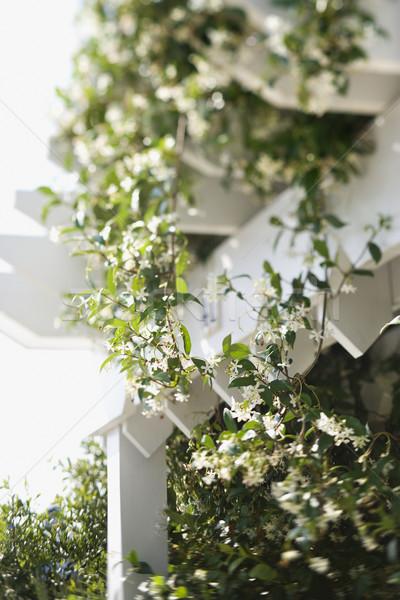 Bloei wijnstok witte groeiend kleur Stockfoto © iofoto