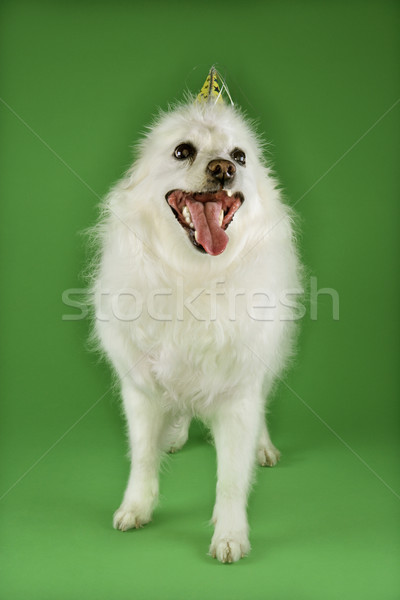 White dog in party hat. Stock photo © iofoto