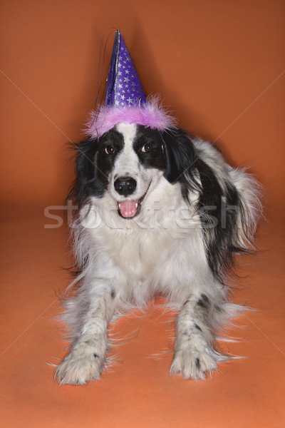 Dog wearing party hat. Stock photo © iofoto