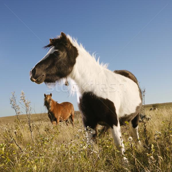 ミニチュア 馬 フィールド 黒白 馬 ブラウン ストックフォト © iofoto