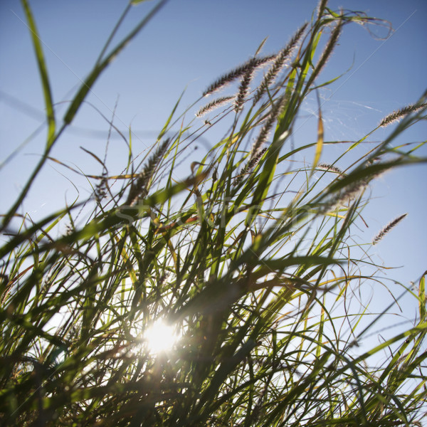 Sea oats. Stock photo © iofoto