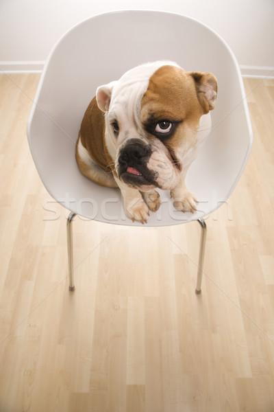 Inglés bulldog silla sesión moderna Foto stock © iofoto