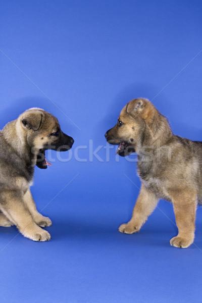 Two cute puppies. Stock photo © iofoto