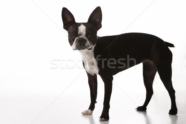 Бостон терьер собака волос портрет цвета Сток-фото © iofoto
