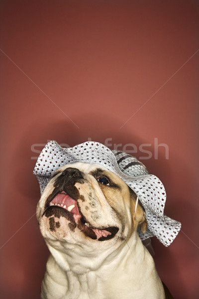 English Bulldog wearing hat. Stock photo © iofoto