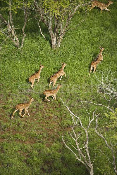 Spotted deer aerial. Stock photo © iofoto