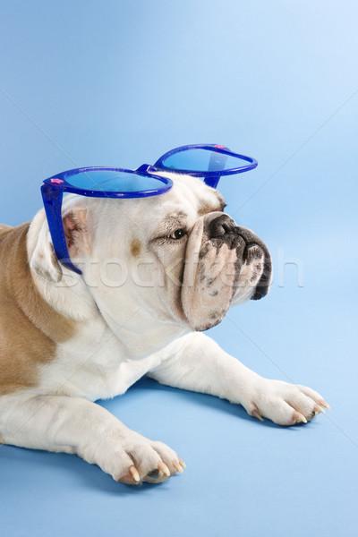 бульдог Солнцезащитные очки сонный английский сидят синий Сток-фото © iofoto