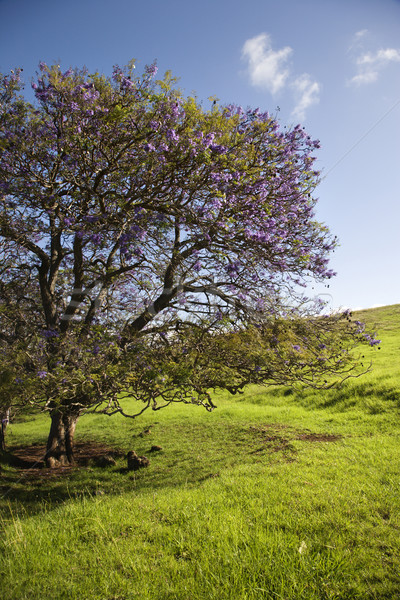 Jacaranda tree in Maui, Hawaii. Stock photo © iofoto