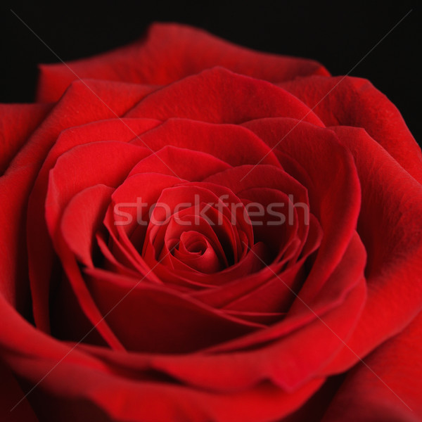 Red rose. Stock photo © iofoto