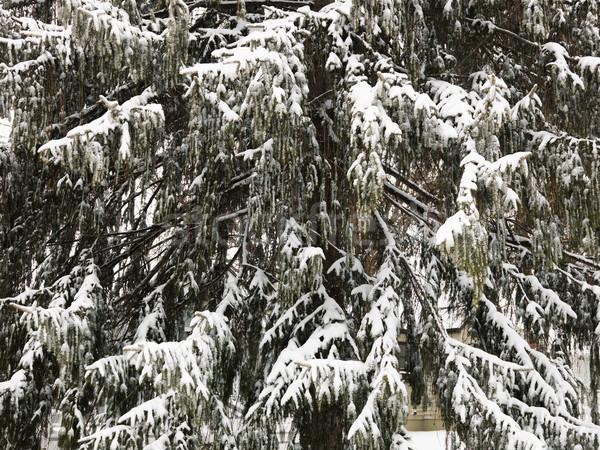 örökzöld fa közelkép jelenet textúra hó Stock fotó © iofoto
