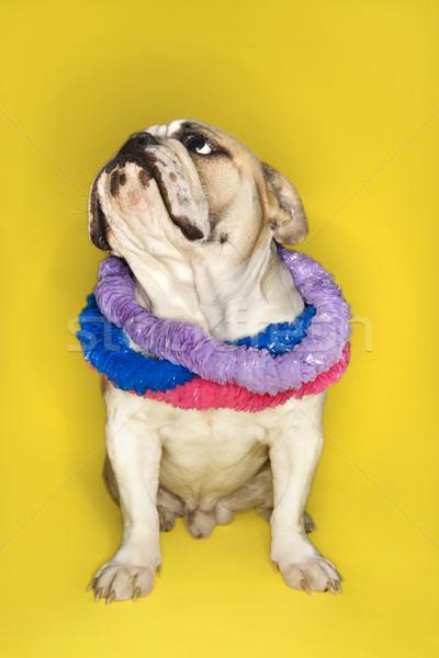 English Bulldog wearing lei. Stock photo © iofoto