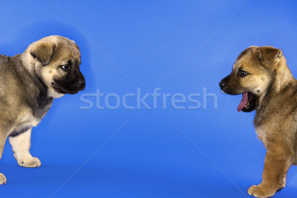 Two cute mixed breed puppies. Stock photo © iofoto
