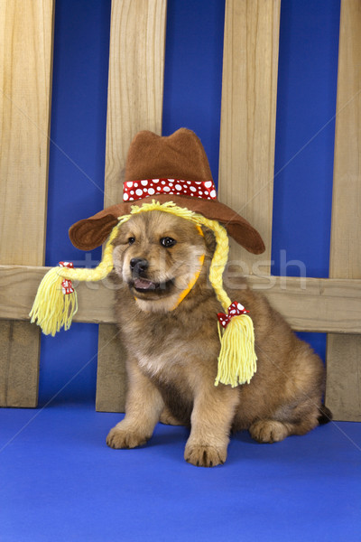 Puppy in cowgirl outfit. Stock photo © iofoto