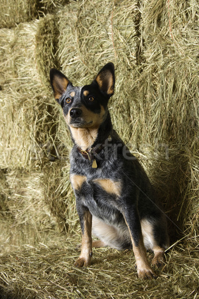 Australian Shepherd on a Hay Bale Stock photo © iofoto