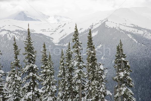 Snow covered trees. Stock photo © iofoto