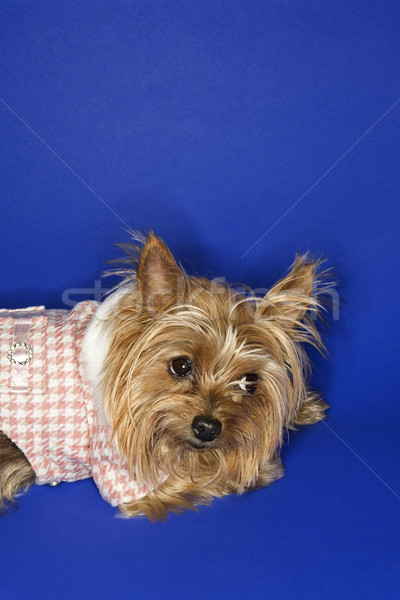 Yorkshire terrier perro color estudio Foto stock © iofoto