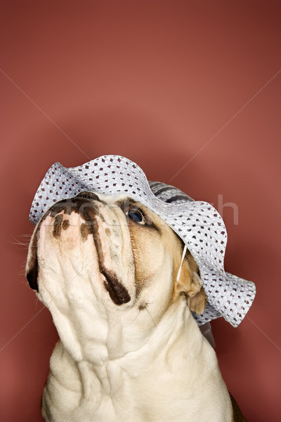 English Bulldog wearing bonnet. Stock photo © iofoto