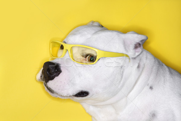 White dog wearing yellow glasses. Stock photo © iofoto