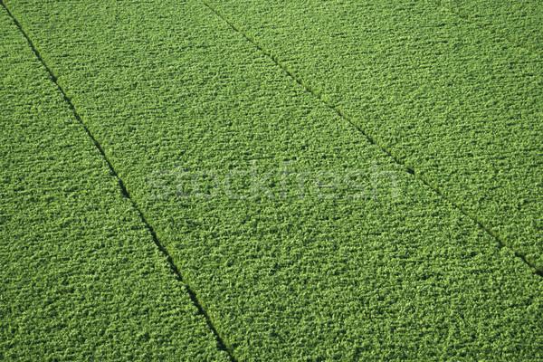Sugarcane crop. Stock photo © iofoto