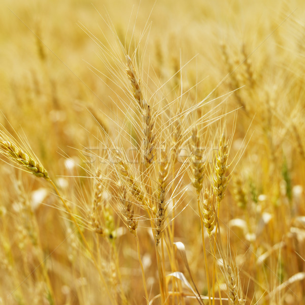 Stock photo: Field of wheat.