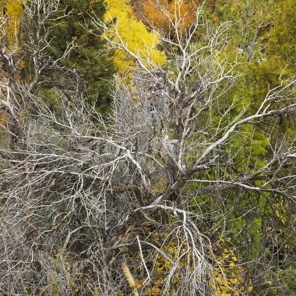 枯れ木 森林 表示 秋 ストックフォト © iofoto