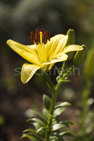 Yellow day lilly bloom. Stock photo © iofoto