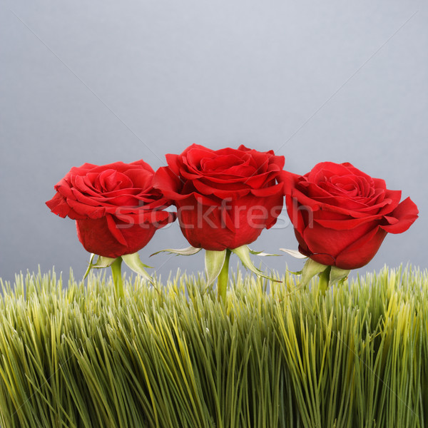 Red roses in grass. Stock photo © iofoto