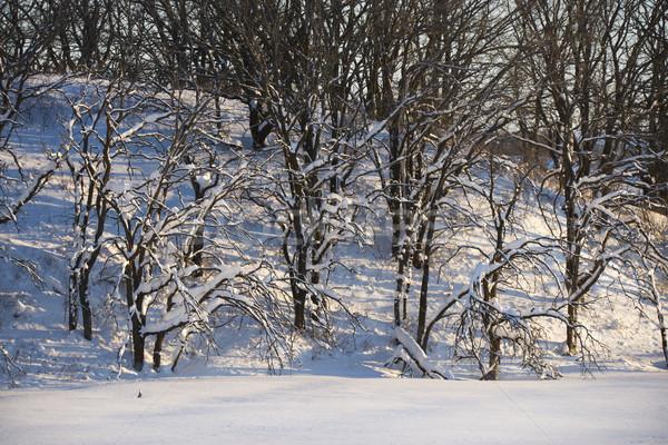 Hó fák terméketlen fedett tél természet Stock fotó © iofoto