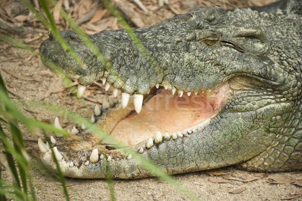 крокодила голову вид сбоку открытых рот Австралия Сток-фото © iofoto