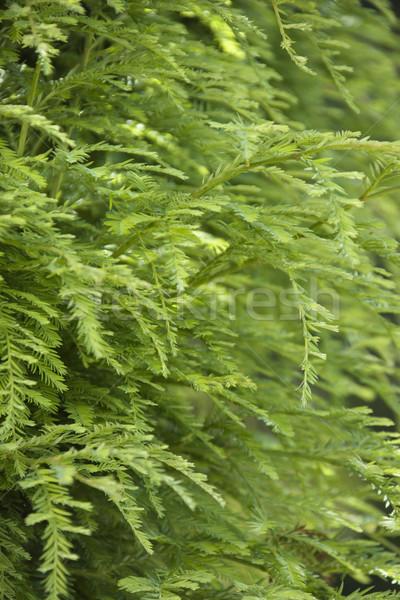 Zieleń drzewo zielone wzrostu strona California Zdjęcia stock © iofoto