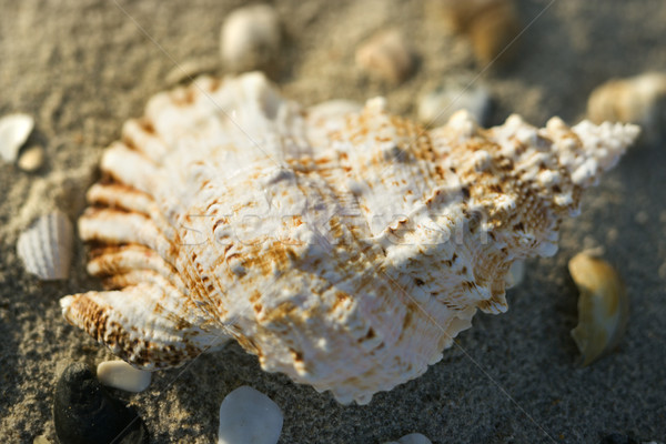 Conch shell in sand. Stock photo © iofoto
