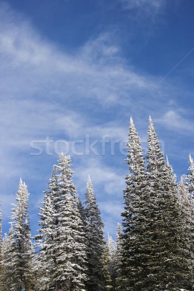 Nieve cubierto pino árboles cielo azul Foto stock © iofoto