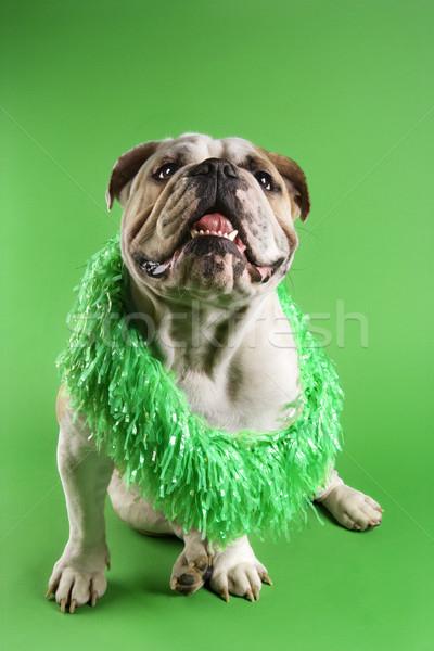 English Bulldog wearing boa. Stock photo © iofoto