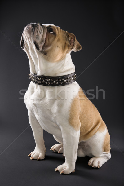 English Bulldog in spiked collar. Stock photo © iofoto