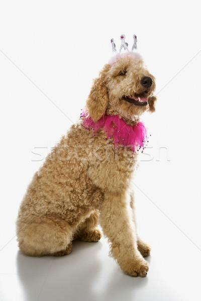 Сток-фото: собака · костюм · цвета · студию · царя