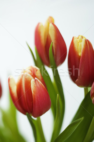 Tulipe fleurs rouge jaune nature Photo stock © iofoto