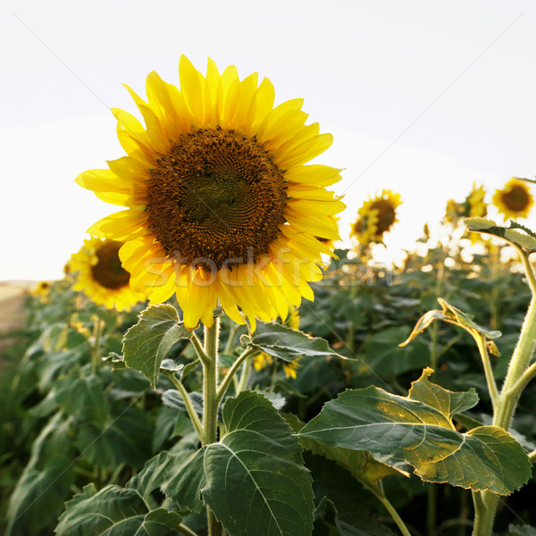 Sunflower plant. Stock photo © iofoto