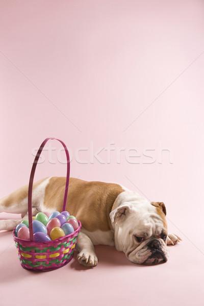 Bulldog with Easter basket. Stock photo © iofoto