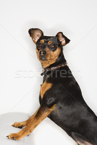 Miniature Pinscher dog. Stock photo © iofoto