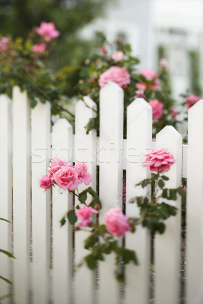 Rose bush over white picket fence. Stock photo © iofoto