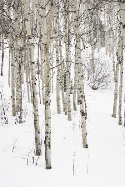 Aspen trees in winter. Stock photo © iofoto