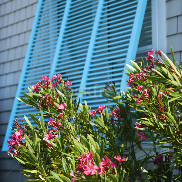 Window with oleander. Stock photo © iofoto