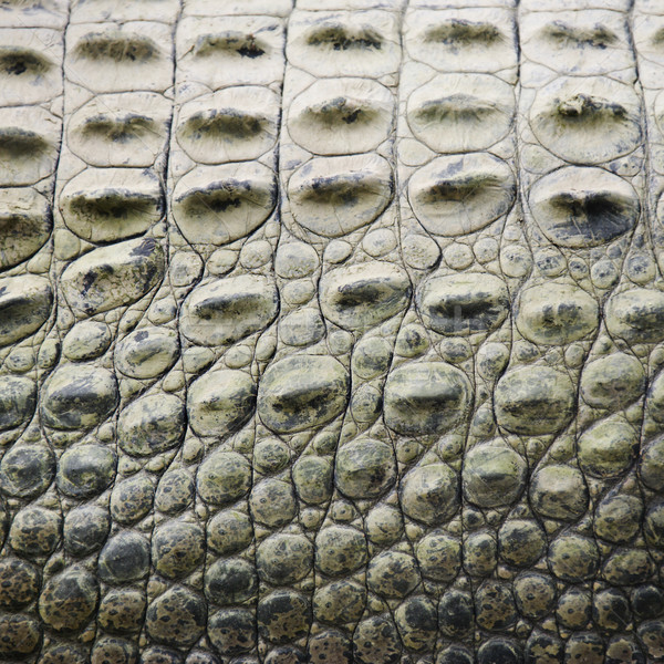 Crocodile scales. Stock photo © iofoto