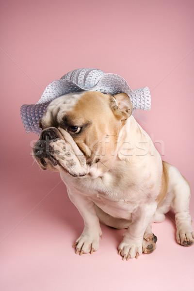 English Bulldog on pink. Stock photo © iofoto